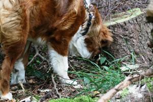 Kantarelsøg for hunde