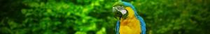 Papegøje